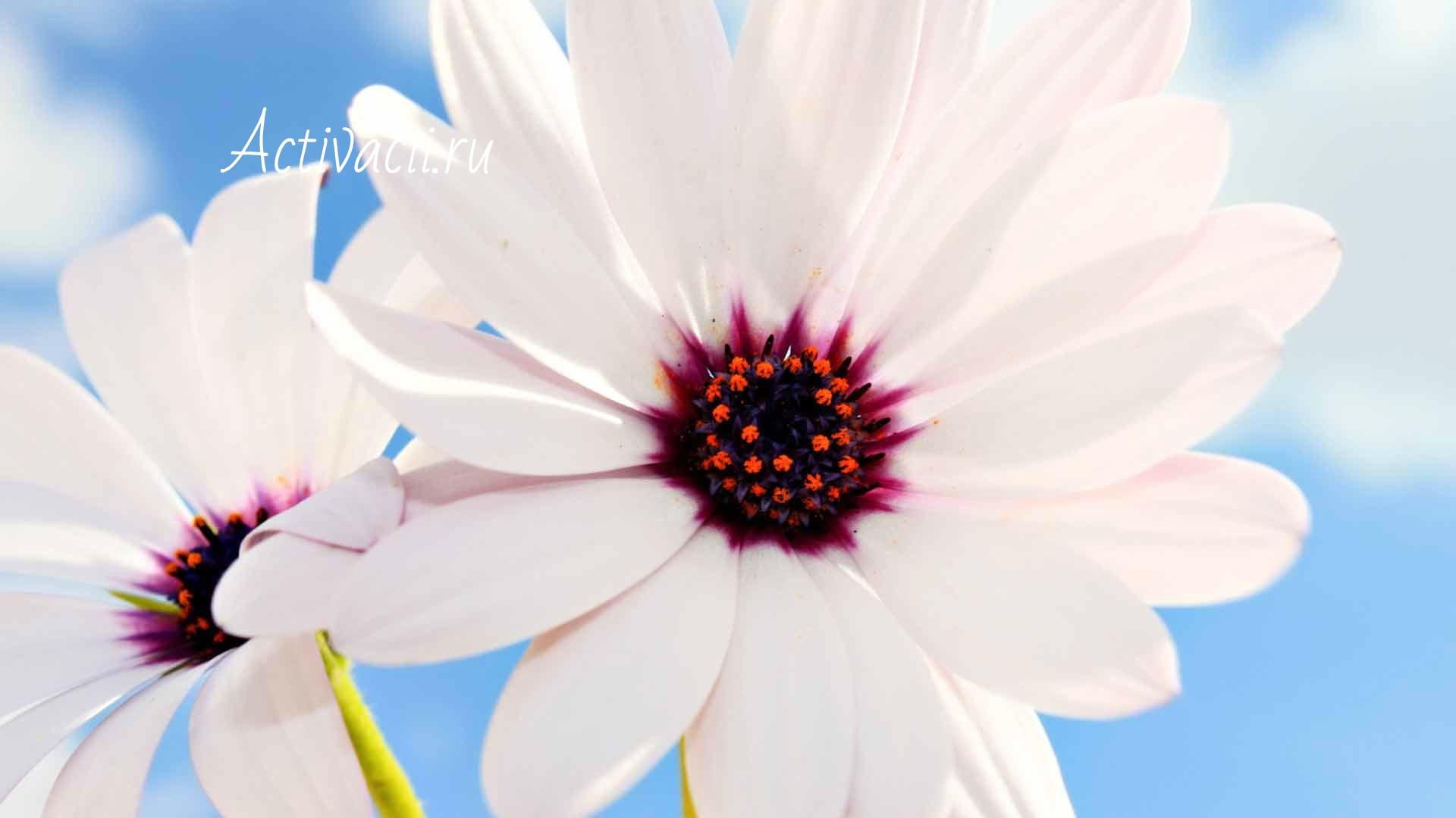 Активация цветка персика